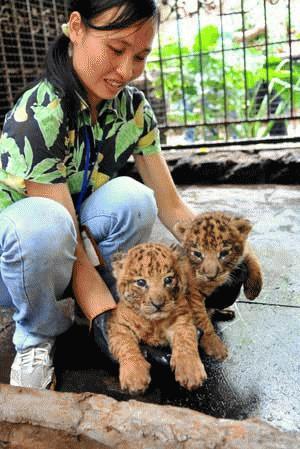 Cặp tigon sinh đôi này ra đời ngày 27 tháng 8 năm 2009 tại vườn thú tỉnh Hải Nam
