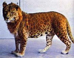 Leopon ở Vườn thú