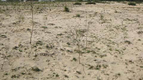 Hàng loại rừng tràm nằm gần khu vực khai thác đều bị chết đứng do thiếu nước. Ảnh: Xuân Hoàng