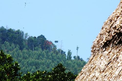 Diện tích rừng trồng dự án nước ngoài tại xã Lăng, Tây Giang nằm lọt thỏm trong rừng nguyên sinh.