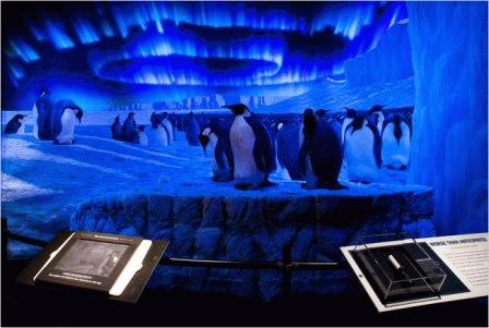 Trong quá trình thám hiểm 'chinh phục' Nam cực, đoàn thám hiểm Scott đã nghiên cứu và phân tích khoa học về loài chim cánh cụt hoàng đế (Aptenodytes forsteri). Ảnh: Rod Mickens/AMNH.