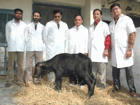 Chú nghé Garima II và các nhà khoa học của Viện nghiên cứu sữa quốc gia Ấn Độ. Ảnh: Internet.