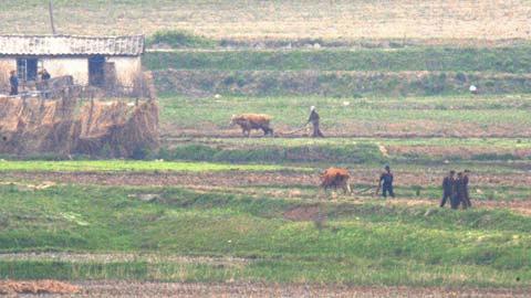 Nông dân CHDCND Triều Tiên đangcày ruộng. (Ảnh: FP)