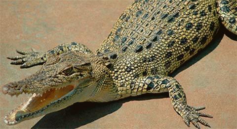 Một con cá sấu như thế này đã gây ra tai nạn máy bay.