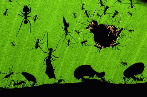 Nhiếp ảnh gia người Hungary Bence Mate đã giành nhất cuộc thi ảnh về môi trường tự nhiên Veolia 2010 với tác phẩm Kiến cắt lá trong rừng nhiệt đới tại Costa Rica. Mặc dù có thân hình nhỏ bé, nhưng những chú kiến thợ vẫn có thể cắt và mang trên mình những mảnh lá lớn gấp nhiều lần cơ thể của chúng.