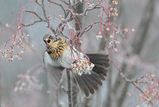 Bức ảnh  một con chim hét kiếm mồi trong thời tiết giá buốt tại Anh của các giả Fergus Gill (Anh) đã giành giải nhất trong nhóm nhiếp ảnh gia từ 15 tuổi đến 17 tuổi.