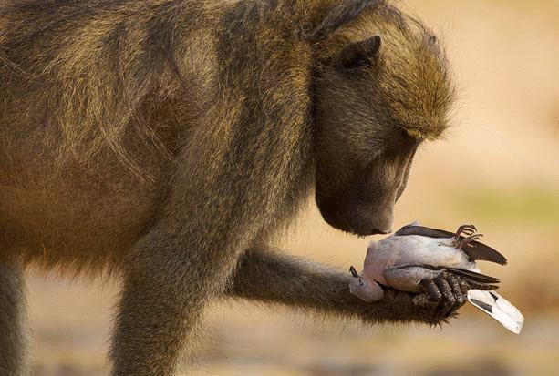 Bức ảnh khỉ đầu chó tỏ ra thương cảm khi cầm xác một chim bồ câu trên tay trong Công viên quốc gia Mana Pools của Zimbabwe (Tác giả Adrian Bailey – Nam Phi).