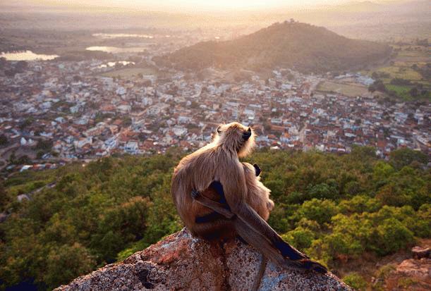"""Khoảnh khắc bình yên cuae hai mẹ con khỉ langur ngồi trên núi để quan sát cảnh bình minh tại thành phố Ramtek, bang Maharashtra, Ấn Độ. Tác phẩm này của nhiếp ảnh gia Olivier Puccia (Pháp) đã đoạt giải nhất thể loại """"Động vật ở đô thị""""."""