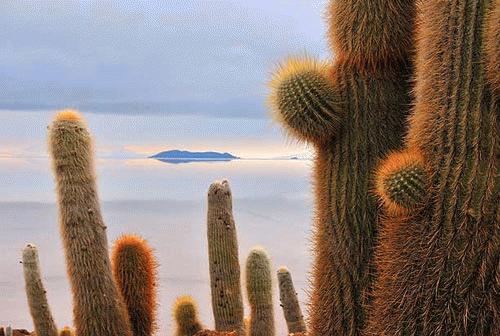 Loài xương rồng muối trên sa mạc Salar de Uyuni, Bolivia (Tác giả: Jordi Busqué).