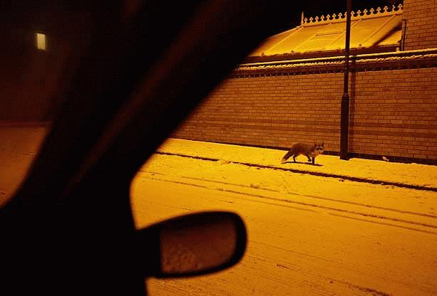 """Hình ảnh một con cáo nhỏ trên đường phố đêm  ở Chellaston, Derby (Anh). Đây là tác phẩm thuộc thể loại """"Động vật ở đô thị"""" của tác giả Chris O'Reilly."""