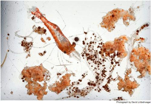 Một con tôm bơi giữa những hạt dầu màu nâu sậm. Trứng và ấu trùng của các loài tôm, cua, cá – những sản vật nắm chìa khóa của nền kinh tế địa phương – sẽ chịu ảnh hưởng lâu dài và khó lường.