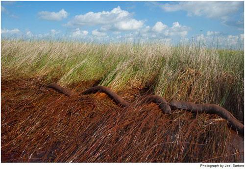 Dầu dạt vào 1 đầm lầy cỏ gần Myrtle Crove, La., Những ống thấm dầu (từng có màu trắng) ban đầu được các đội dọn dẹp đặt tại mép nước, nay bị sóng đánh tạt vào bờ.