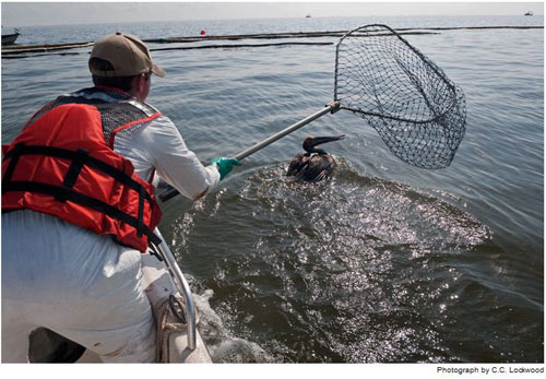Một nhà sinh học đang cứu một con bồ nông bị nhuộm dầu ngoài bờ biển Queen Bess. Con chim này sẽ được đưa về một trung tâm phục hồi và được tắm rửa cho sạch dầu, rồi sau đó sẽ được thả ở một nơi an toàn hơn.