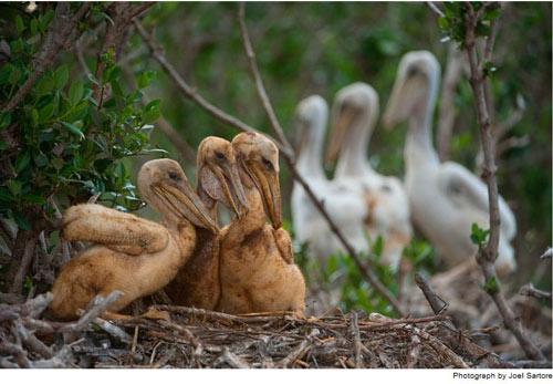 Những con bồ nông non lông bị dầu nhuộm nâu đang túm tụm trên đảo Cat – một hòn đảo nằm ở điểm cực tây của quần đảo Gulf Islands National Seashore.