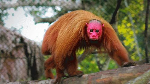 """Những con khỉ Uakari này sở hữu một chiếc đầu đỏ rực, thêm bộ lông đỏ khiến hình dạng của chúng càng thêm phần quái dị. Những người dân địa phương ở Nam Mỹ gọi chúng là """"khỉ Anh"""" vì chúng khiến họ nhớ tới những người Anh đầu tiên đến nơi đây do không quen với khí hậu đã bị mặt trời làm cho khuôn mặt đỏ lự lên."""