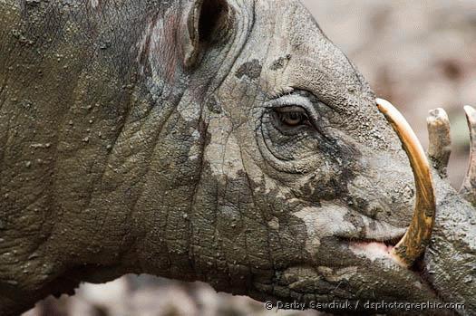 """Nhìn hình dáng của heo babirusa người ta sẽ không ngạc nhiên khi chúng trở thành loài động vật trong truyền thuyết của những cư dân trên đảo Sulawesi, Indonesia. Dưới sự """"gợi ý"""" của heo Babirusa, người dân nơi đây đã nghĩ ra đủ thứ chuyện về một loài quái vật mang khuôn mặt ác ma."""