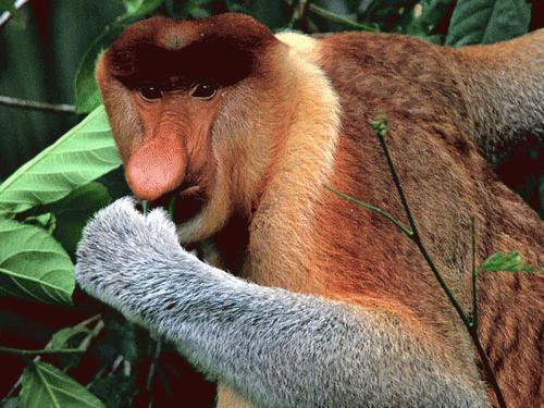 Với chiếc bụng to và mũi dài, đây là loài vật được coi là hài hước nhất trong thế giới động vật.