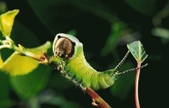 Loài sâu này có khuôn mặt khiến bất cứ ai nhìn cũng phải giật mình. Không chỉ có vậy, chúng còn hai chiếc đuôi nhỏ giúp chúng ngụy trang tránh các loài thiên địch.
