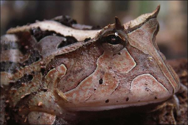 Loài ếch này chọn phương pháp ngụy trang thành một chiếc lá khô. Nếu như nhìn không kỹ, bạn rất khó có thể nhận ra chúng giữa những chiếc lá rơi trên đất. Loài ếch này cũng rất ít khi di chuyển. Mỗi khi săn mồi, chúng núp im một chỗ, đợi con mồi bay qua và tấn công đột ngột.