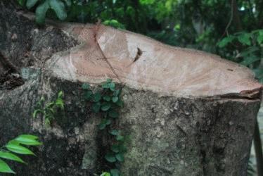 Cây sưa bị hạ tại chùa Phụ Chính (Chương Mỹ)