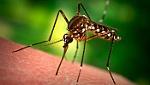 Tạo ra loài muỗi không có khả năng truyền bệnh