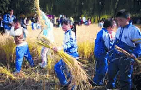 Học sinh tiểu học được dạy cắt lúa