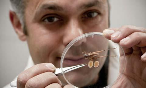 Tinh hoàn của một dế đực Platycleis affinis chiếm tới 14% so với trọng lượng cơ thể. Ảnh: Getty Images.